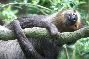 lazy-sloth