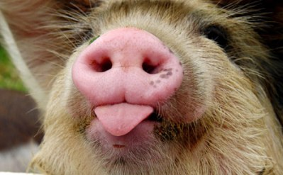pig_snout_iStock_000001498692Small_465x288_130809